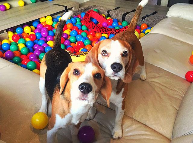 Бигли - веселые и дружелюбные собаки