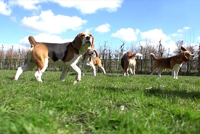 Эти активные собаки тратят много энергии
