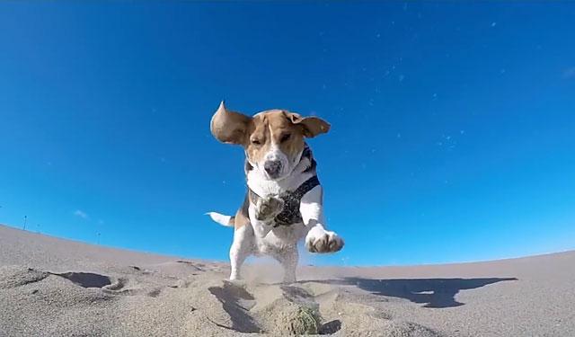 Это очень подвижная и активная собака