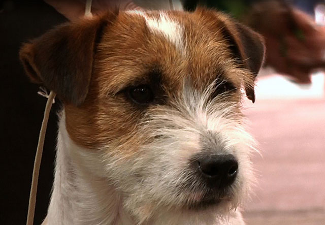 Для вязки собаки должны достичь правильного возраста