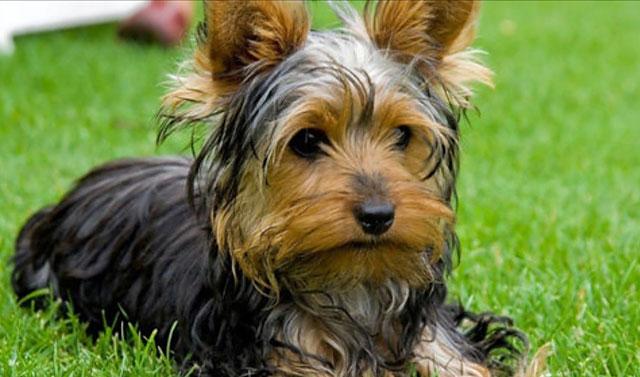 Собака со стандартным окрасом