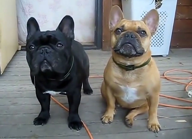 Этих собак рекомендовано содержать в доме