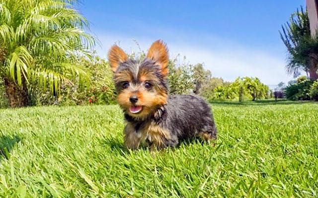 Собака со стоячими ушами