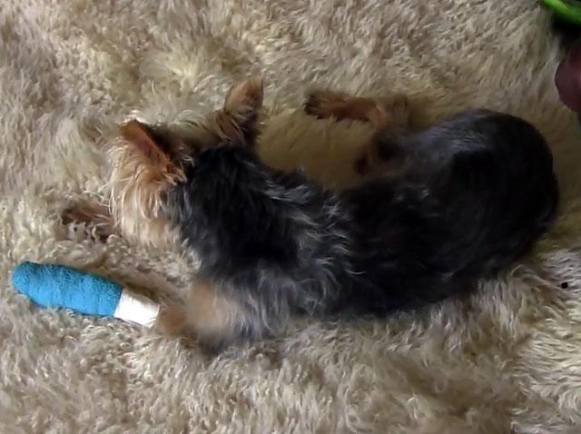Собака с забинтованной лапкой
