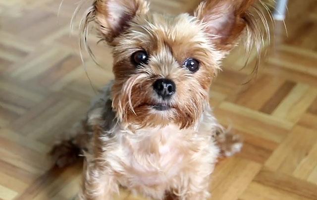 К старости глаза собаки становятся не такими блестящими