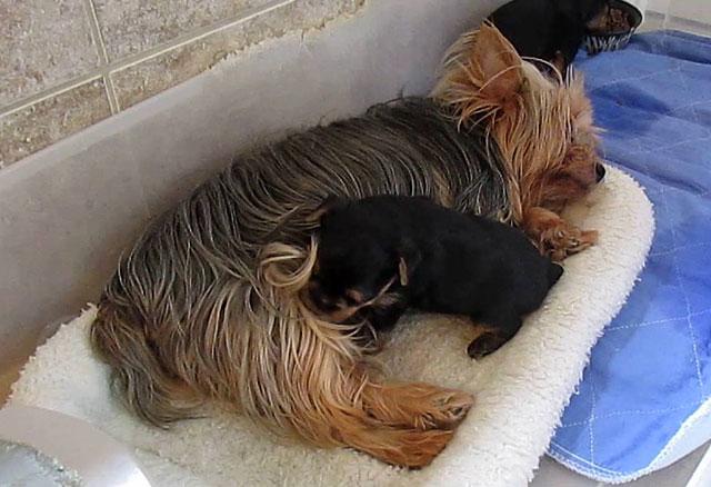 Девочка-йорк кормит щенков