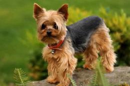 Описание породы собак йоркширский терьер