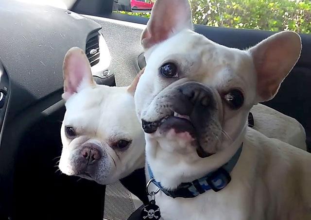 Две собаки в автомобиле