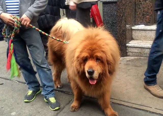 Такую большую собаку проблематично содержать в квартире