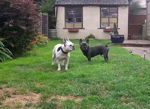 Разрешите собакам познакомиться и поиграть