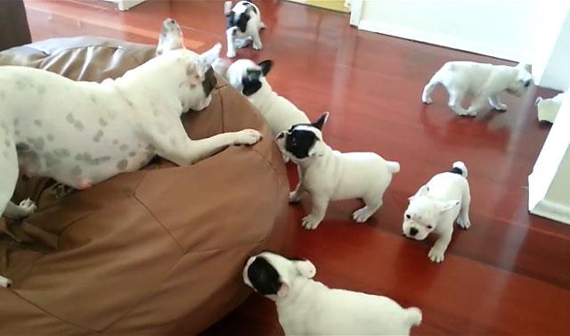 Сука французского бульдога с щенками