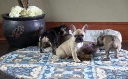 Как правильно выбирать щенка французского бульдога