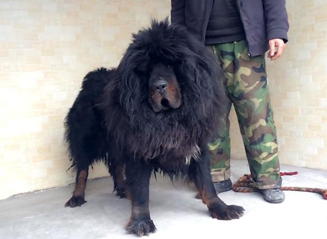 Из-за особенностей характера этим собакам необходимы воспитание и дрессировка