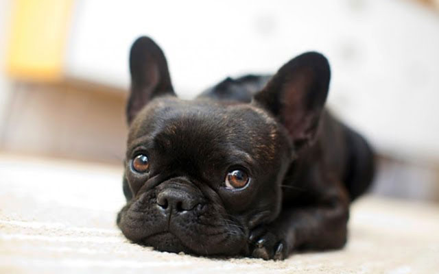 Глазки щенка должны быть чистыми