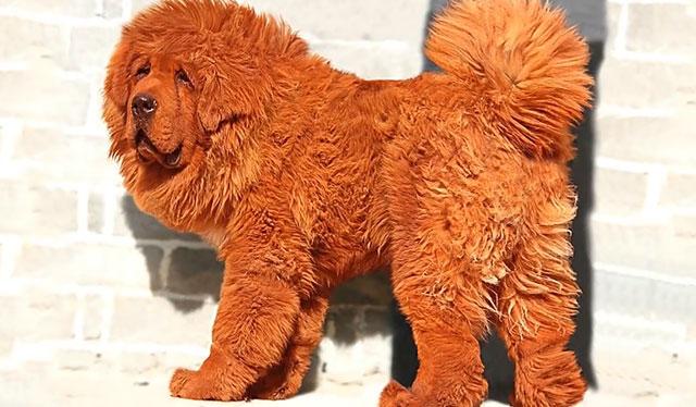 Это самые дорогие в мире собаки