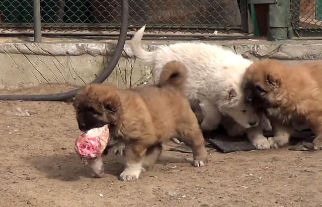 Кавказская овчарка должна есть мясо каждый день