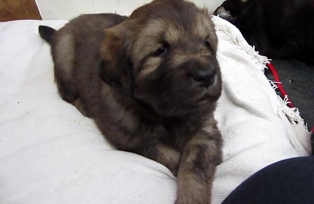 Из маленького щенка вырастет огромный пес