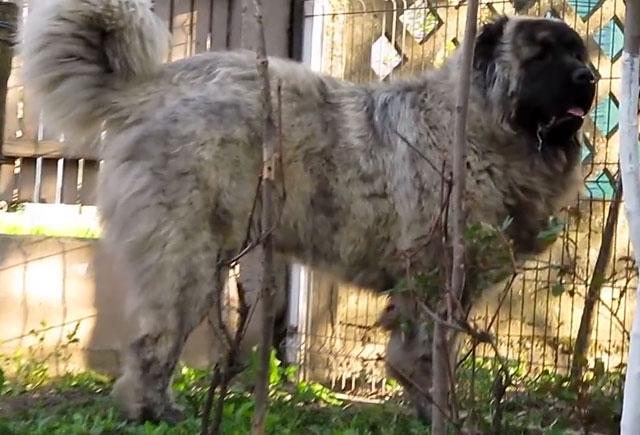 Во виду шерсти кавказские овчарки делятся на три типа
