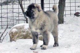 Щенок кавказской овчарки: сколько стоит и как выбрать