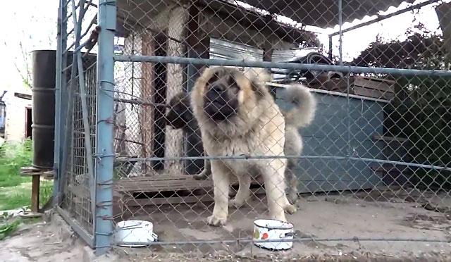 Лучше всего, если собака будет жить в вольере