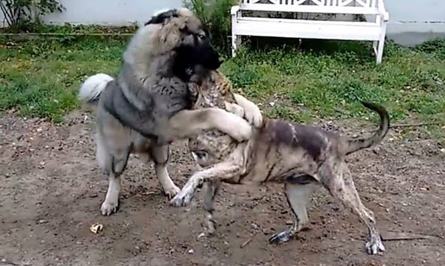 Кавказец дерется не хуже других бойцовских собак