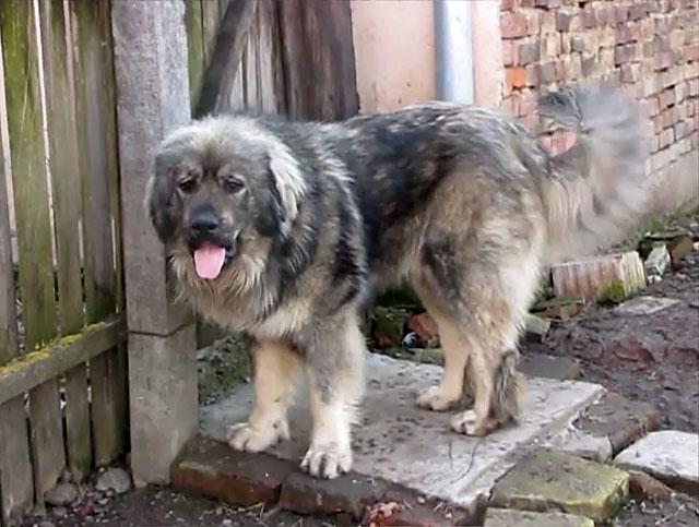 Купированные уши спасут собаку от травм