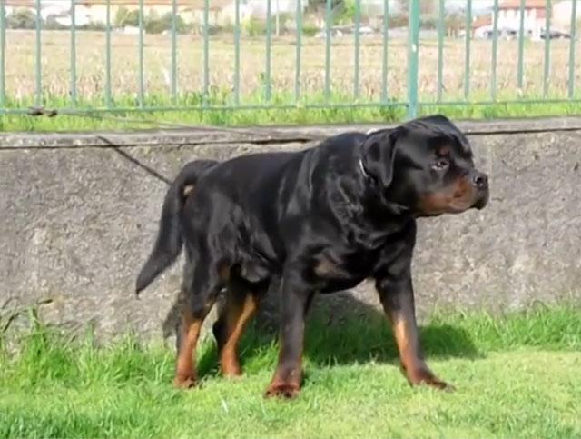 Внимательная и решительная собака