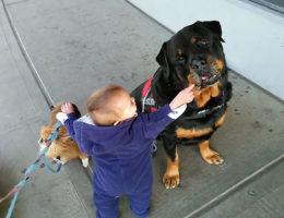 Отношение ротвейлера к детям