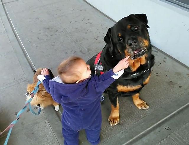 Малыш играет с ротвейлером