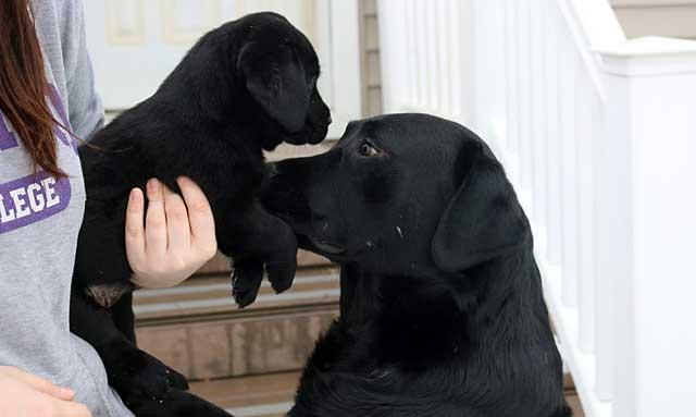 Первыми в стандарт попали собаки с черным цветом шерсти