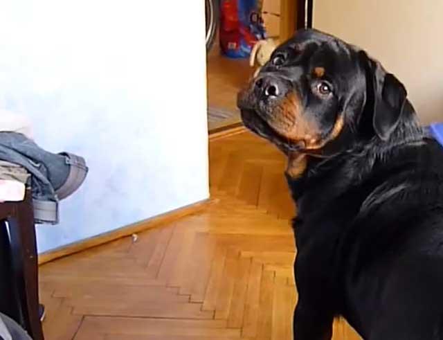 В сильные морозы собаку забирают в дом