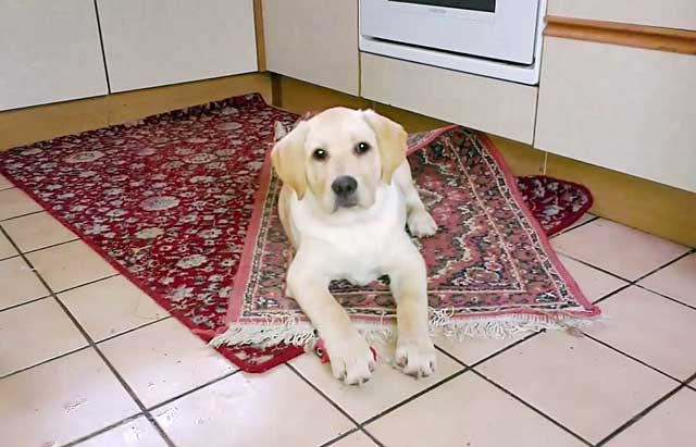 Собаке можно постелить ковер