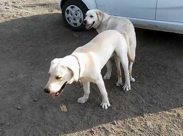 Склещенные собаки должны разъединиться самостоятельно