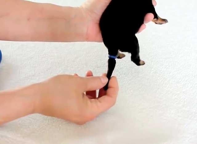 Подготовка к обрезке хвоста