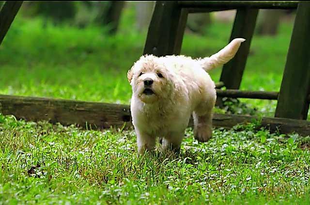 Лабрадудель на пробежке по парку