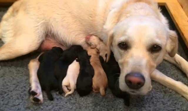 Собака устала после родов