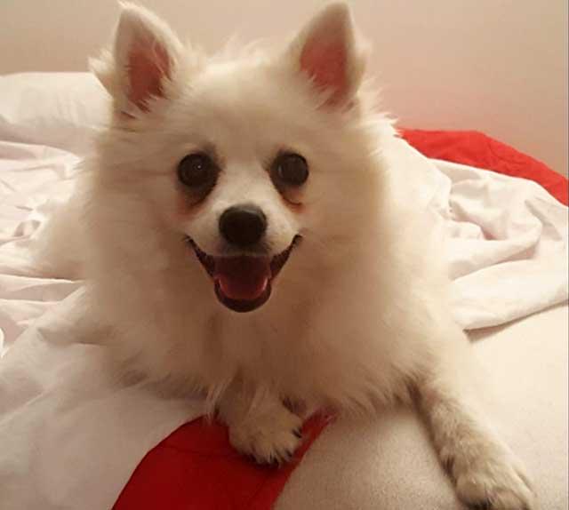 Собака с белоснежной шубкой