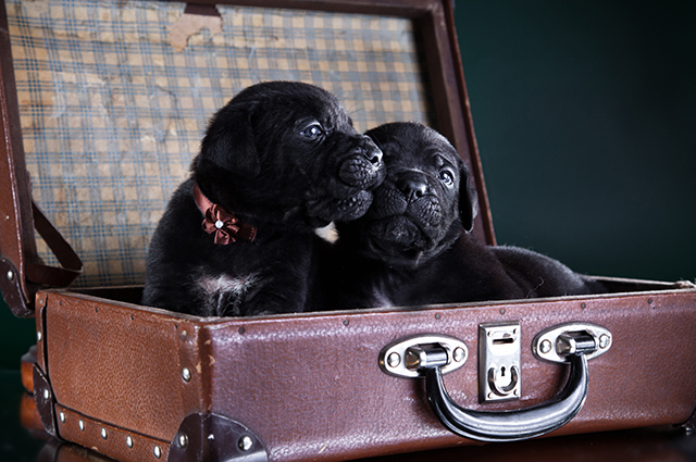 Щенки кане-корсо в чемодане