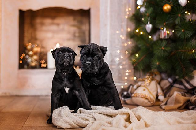 Щенки кане-корсо у новогодней ёлки
