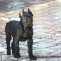 Взрослый щенок кане корсо