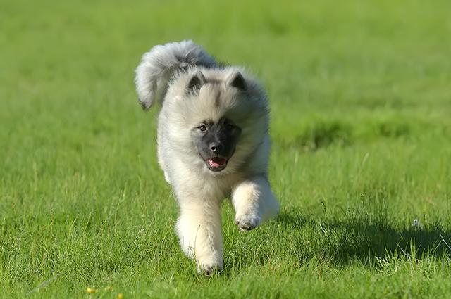 Вольфшпиц щенок