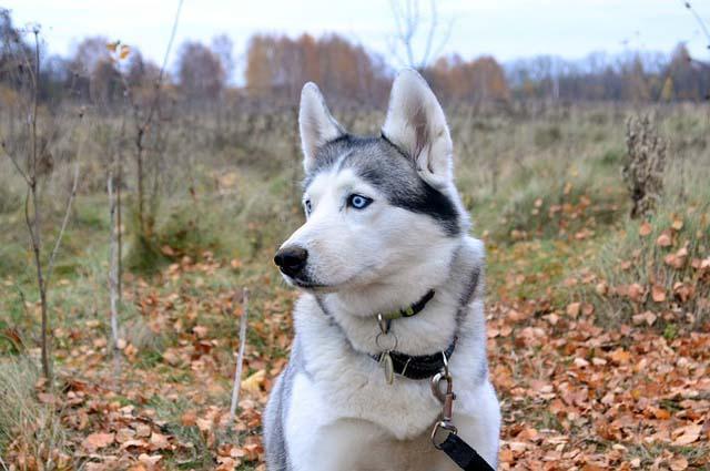 Содержание хаски, что необходимо знать перед покупкой щенка