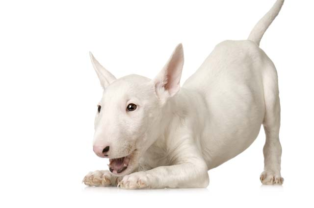 Белый бультерьер, стандарты породы