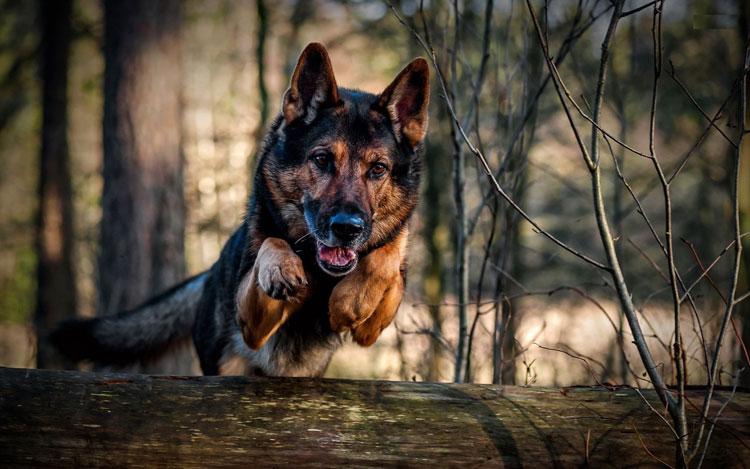 Немецкая овчарка - красивая и активная собака