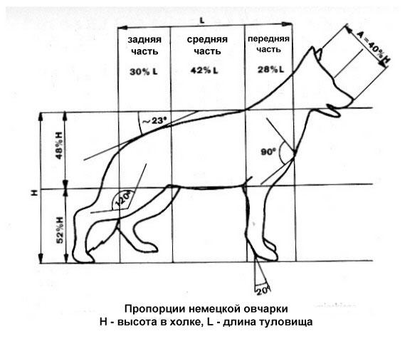 Пропорции немецкой овчарки