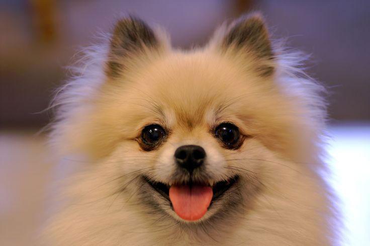 Шпицы - самая улыбчивая порода
