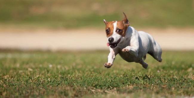 Джек-рассел-терьер очень активная собака