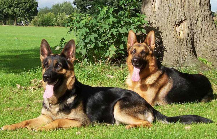 Состояние шерсти может сказать о здоровье собаки