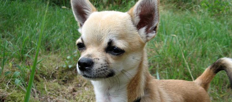Чихуахуа - самая маленькая порода в мире