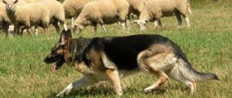 """""""Овчарка"""" - собака, находящаяся при овцах"""
